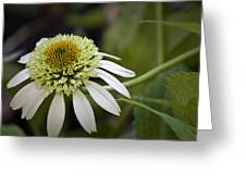 White Milkshake Coneflower Greeting Card