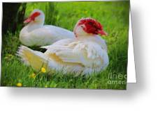 White Muscovy Ducks Greeting Card