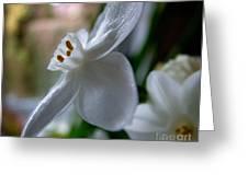 White Narcissi Spring Flower 4 Greeting Card