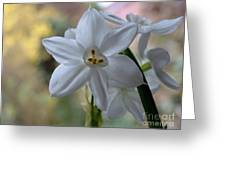 White Narcissi Spring Flowers 3 Greeting Card