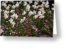 White Narcissus With Pink English Daisies In A Spring Garden Greeting Card