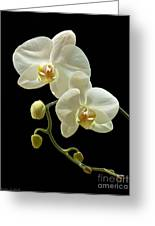 White Orchid On Black Background Greeting Card