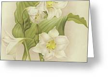 White Orchids   Eucharis Sanderiana Greeting Card