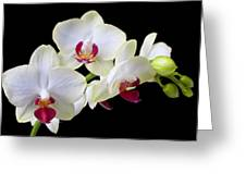 White Orchids Greeting Card by Garry Gay