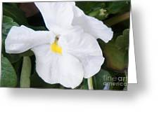 White Pansy Greeting Card