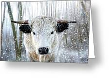 White Park Cattle In The Snow Greeting Card