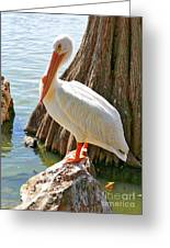 White Pelican By Cypress Tree Greeting Card