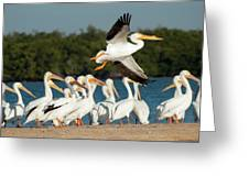 White Pelican In Flight Greeting Card