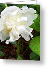 White Peonia Greeting Card