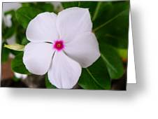White Periwinkle Flower 1 Greeting Card