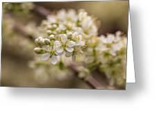 White Plum Blossom Greeting Card