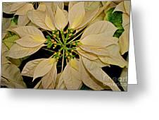 White Poinsettia Greeting Card