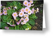 White Primroses Greeting Card
