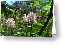 White Rhododendron Blooms Greeting Card