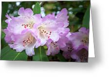 White Rhododendron Flowers With A Purple Fringe Greeting Card
