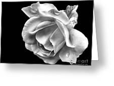 White Rose Aglow Greeting Card