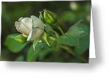 White Rose II Greeting Card