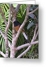 White Rumped Shama Greeting Card