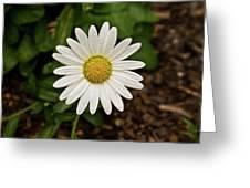 White Shasta Daisy In The Rain Greeting Card