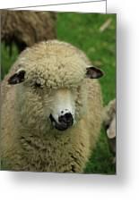 White Sheep Greeting Card