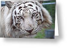 White Siberian Tiger Greeting Card