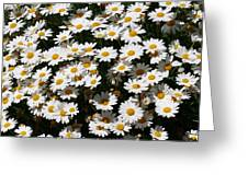 White Summer Daisies Greeting Card