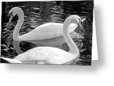 White Swans Greeting Card