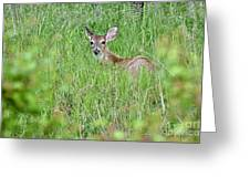 White-tailed Deer Bedded Down In Tall Grass Greeting Card