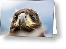 White-tailed Eagle #2 Greeting Card