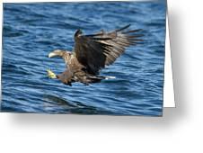 White-tailed Eagle Taking Fish Greeting Card