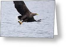 White-tailed Eagle With Catch Greeting Card