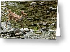 White-tailed Fawn At Vichy Springs Resort In Ukiah Greeting Card