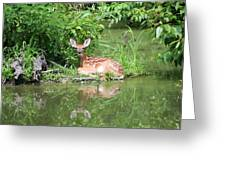 White Tailed Fawn Wildlife Greeting Card