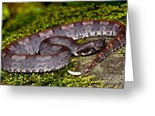 White-tailed Hognose Viper Greeting Card