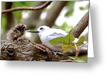 White Terns Koa And Parent...bird Love Greeting Card