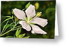 White Texas Star Hibiscus 003 Greeting Card