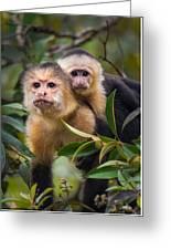 White-throated Capuchin Monkeys Cebus Greeting Card