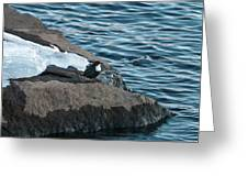 White-throated Dipper Nr 4 Greeting Card