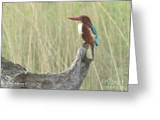 White Throated Kingfisher Greeting Card