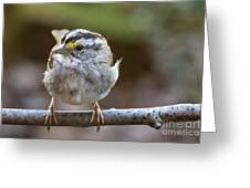 White Throated Sparrow Portrait Greeting Card