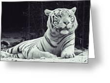 White Tiger 16 Greeting Card