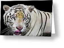 White Tiger Closeup Greeting Card