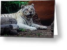 White Tiger Gladys Porter Zoo Texas Greeting Card