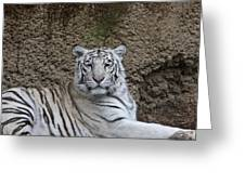 White Tiger Resting Greeting Card