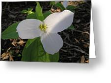 White Trillium Greeting Card by Richard Mitchell