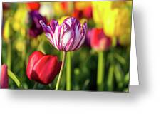 White Tulip Flower With Pink Stripes Greeting Card