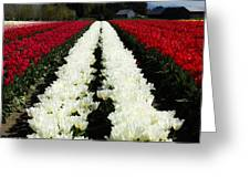 White Tulip Rows Greeting Card