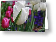 White Tulip With A Green Stripe In A Garden Greeting Card