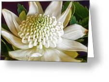 White Waratah Greeting Card
