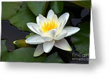 White Water Lily And Bud Greeting Card